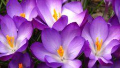 Как посадить первоцветы