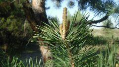 Несколько фактов о полезных свойствах хвойных деревьев