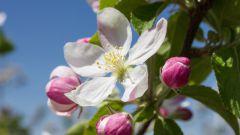 Чем подкормить яблони и сливы весной