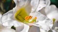 Когда сажать лилии в открытый грунт весной