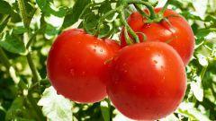 Как вырастить хорошие томаты