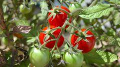 Что можно сажать вместе с помидорами?