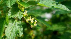 Почему на листьях смородины появляются красные пятна