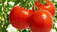 How to collect a good harvest of tomatoes