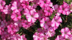 Как добиться шикарного цветения петунии