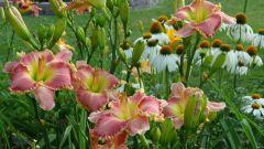 Day lilies - fashion undemanding perennial for the garden