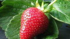 Как защитить растения земляники от болезней после сбора урожая