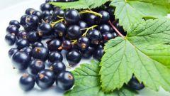 Методы выращивания крупной смородины