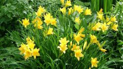 Daylilies grown and cared