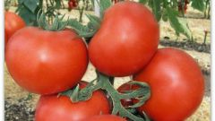"""Универсальный сорт томатов """"Толстой F1"""""""