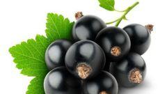 Советы по поводу выращивания черной смородины