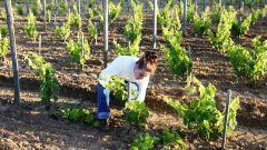Уход за виноградом в весенний период
