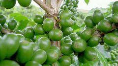 Можно ли похудеть на зеленом кофе: разбираем плюсы и минусы