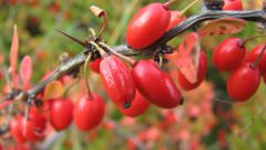 Знакомимся с кустарниками для дачи и сада: барбарис