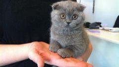 Как правильно ухаживать за британскими вислоухими котами