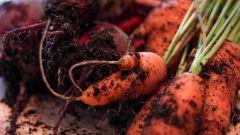 Когда убирать свеклу и морковь