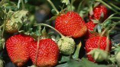 Важные вопросы по посадке садовой земляники в августе