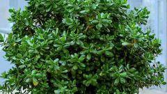 Как вырастить домашнее денежное дерево