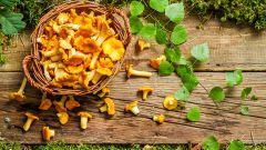 Лисички как чудесное средство для здоровья