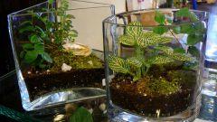 Фиттония: виды и сорта