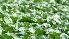 Когда сажать капусту на рассаду в 2017 году