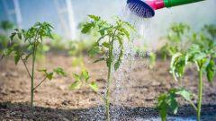 Чем поливать помидоры, чтобы получить хороший урожай