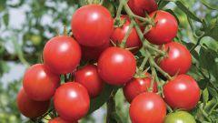 Как вырастить томаты черри сорта «Вишня красная»