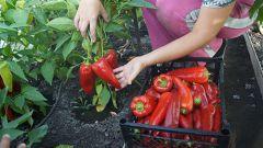 В чем особенности выращивания сладкого перца