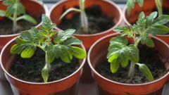 Как вырастить крепкую и здоровую рассаду