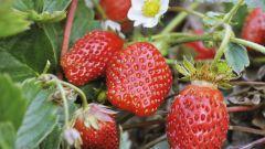 Как правильно хранить купленные семена земляники