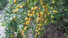 Как подготовить к зиме вишню, сливу и абрикос