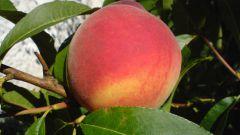 Как укрыть персик от мороза