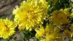 Как подготовить хризантемы осенью к зиме