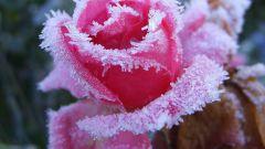 Когда укрывать розы на зиму в Подмосковье в 2017 году