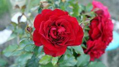 Как обрезать кустовые розы на зиму