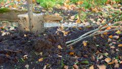 Как прикопать саженцы осенью