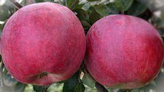 """Как посадить яблоню """"Красное раннее"""" и как правильно за ней ухаживать?"""