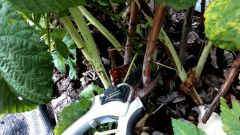 Можно ли ремонтантную малину на зиму не обрезать