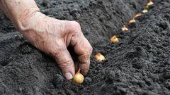 Как и когда нужно сажать лук-севок под зиму