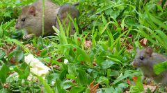Как бороться с грызунами на приусадебном участке осенью