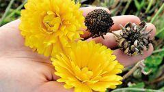Как собрать свои семена цветов осенью