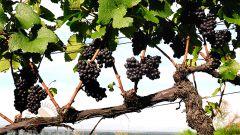 Как правильно хранить свежий виноград
