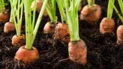 Когда и как сажать морковь под зиму в открытый грунт