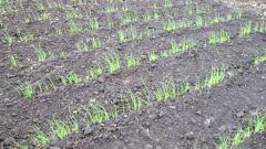 Как посеять лук семенами под зиму