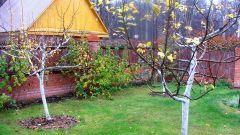 Зачем осенью обрабатывают плодовые деревья мочевиной