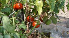 Появление фитофтор на помидоре: способы борьбы