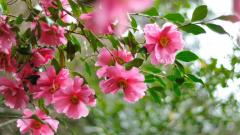 Камелия садовая: посадка, размножение, уход, сорта