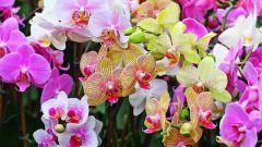 Как пересадить орхидею дома