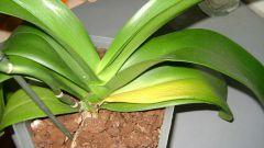 Почему желтеют листья у орхидеи в домашних условиях