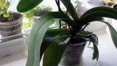 Почему орхидеи плохо растут